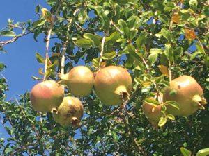 pomegranates tarifa